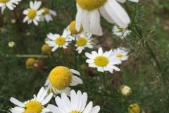 Vilde blomster