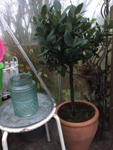 Laurbær-busken