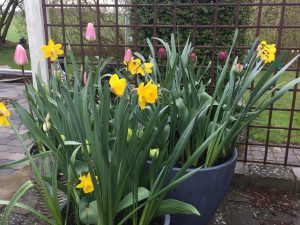 Påskeliljer og tulipaner i al deres skønhed